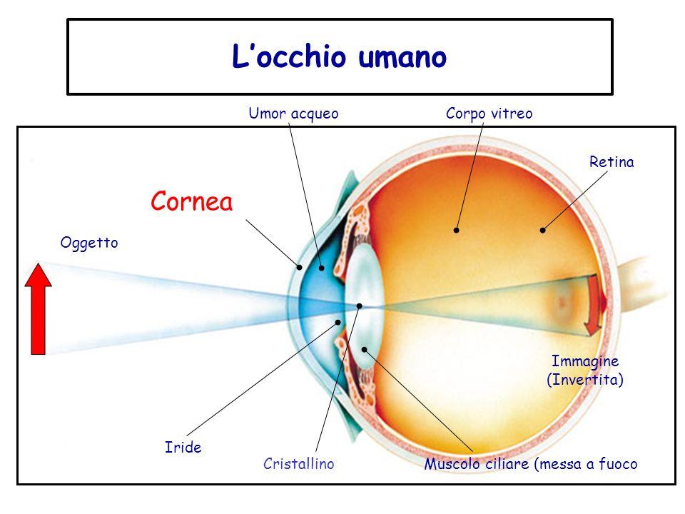 Locchio umano Oggetto Umor acqueoCorpo vitreo Retina Cornea Immagine (Invertita) Cristallino Iride Muscolo ciliare (messa a fuoco