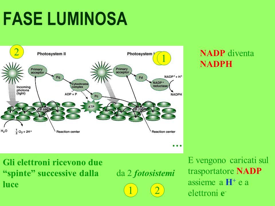 La clorofilla Nei cloroplasti delle cellule vegetali la CLOROFILLA, come uno specchio, concentra i raggi del sole spara i suoi elettroni carichi dell