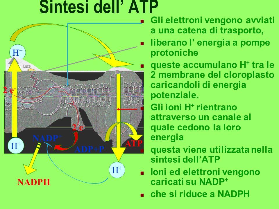 FASE LUMINOSA Gli elettroni ricevono due spinte successive dalla luce E vengono caricati sul trasportatore NADP assieme a H + e a elettroni e - NADP d