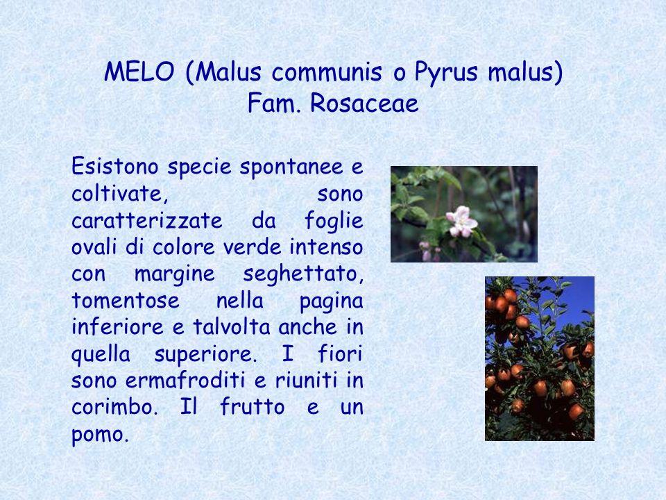 MELO (Malus communis o Pyrus malus) Fam. Rosaceae Esistono specie spontanee e coltivate, sono caratterizzate da foglie ovali di colore verde intenso c