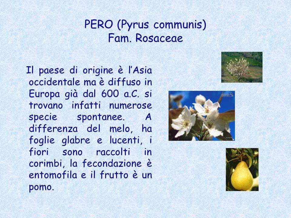 PERO (Pyrus communis) Fam. Rosaceae Il paese di origine è lAsia occidentale ma è diffuso in Europa già dal 600 a.C. si trovano infatti numerose specie