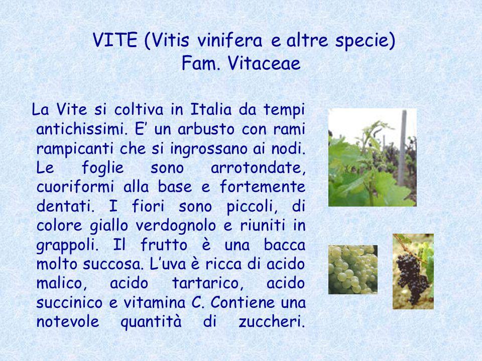 VITE (Vitis vinifera e altre specie) Fam. Vitaceae La Vite si coltiva in Italia da tempi antichissimi. E un arbusto con rami rampicanti che si ingross
