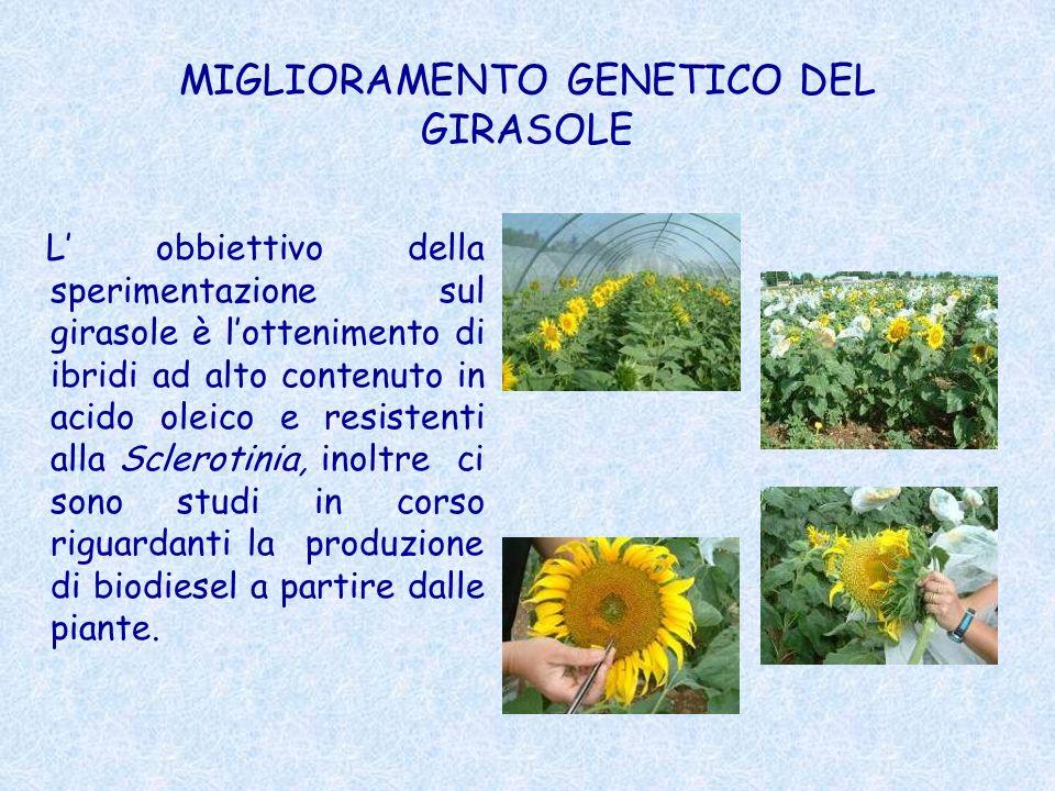 MIGLIORAMENTO GENETICO DEL GIRASOLE L obbiettivo della sperimentazione sul girasole è lottenimento di ibridi ad alto contenuto in acido oleico e resis