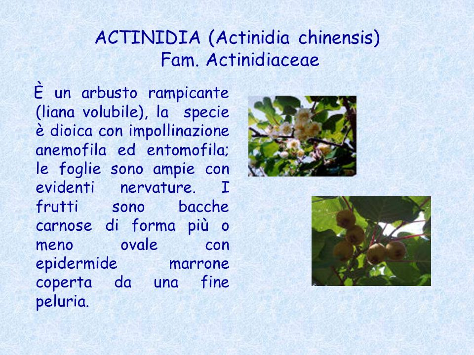ACTINIDIA (Actinidia chinensis) Fam. Actinidiaceae È un arbusto rampicante (liana volubile), la specie è dioica con impollinazione anemofila ed entomo