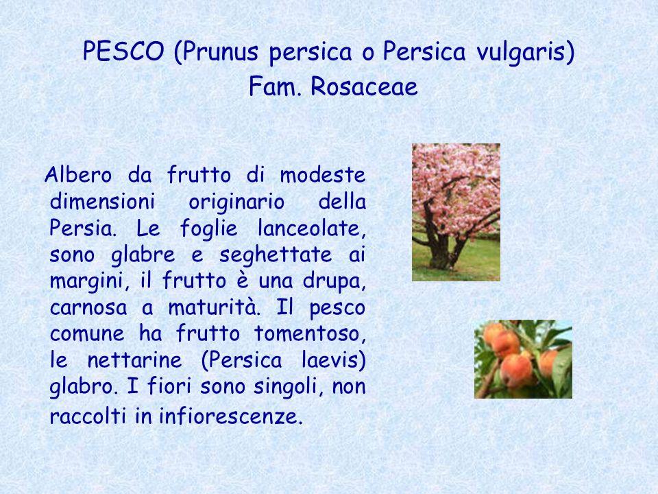 PESCO (Prunus persica o Persica vulgaris) Fam. Rosaceae Albero da frutto di modeste dimensioni originario della Persia. Le foglie lanceolate, sono gla