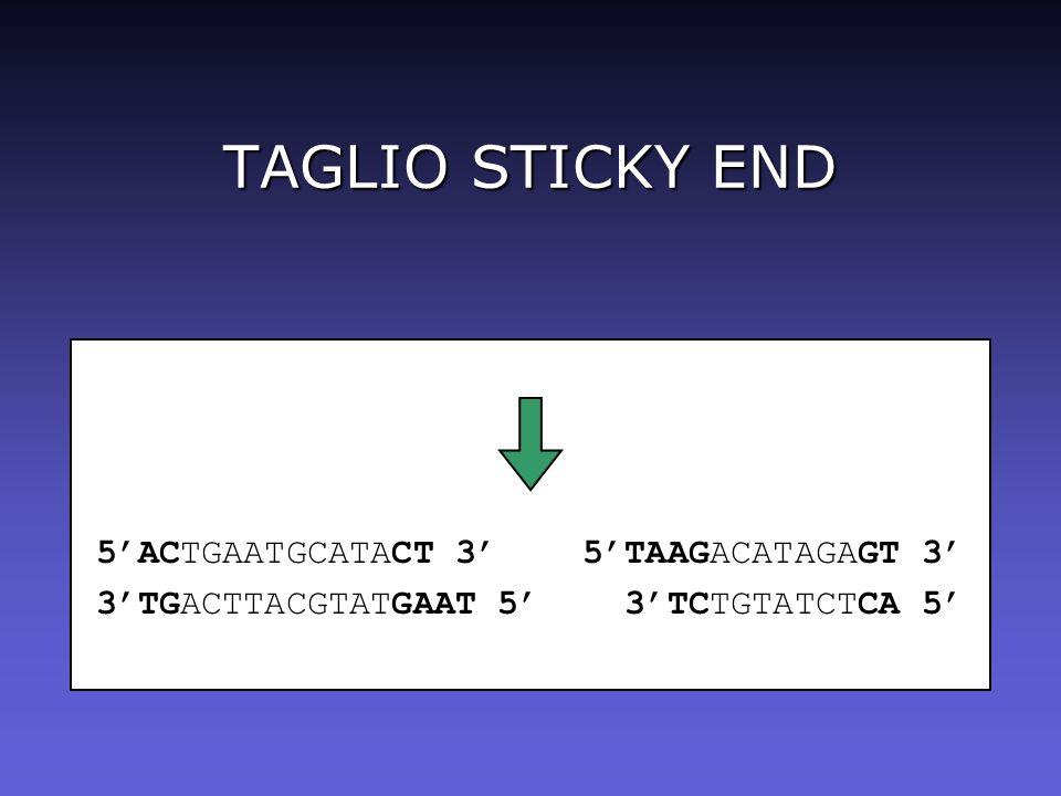 TAGLIO STICKY END 5ACTGAATGCATACT 3 5TAAGACATAGAGT 3 3TGACTTACGTATGAAT 5 3TCTGTATCTCA 5