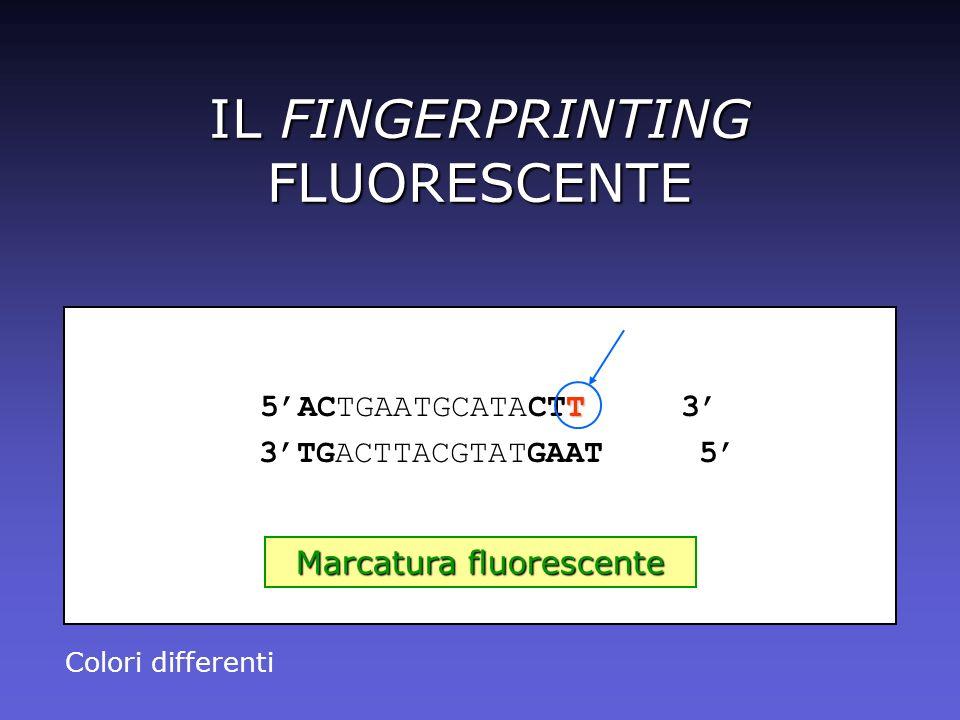 IL FINGERPRINTING FLUORESCENTE T 5ACTGAATGCATACTT 3 3TGACTTACGTATGAAT 5 Marcatura fluorescente Colori differenti
