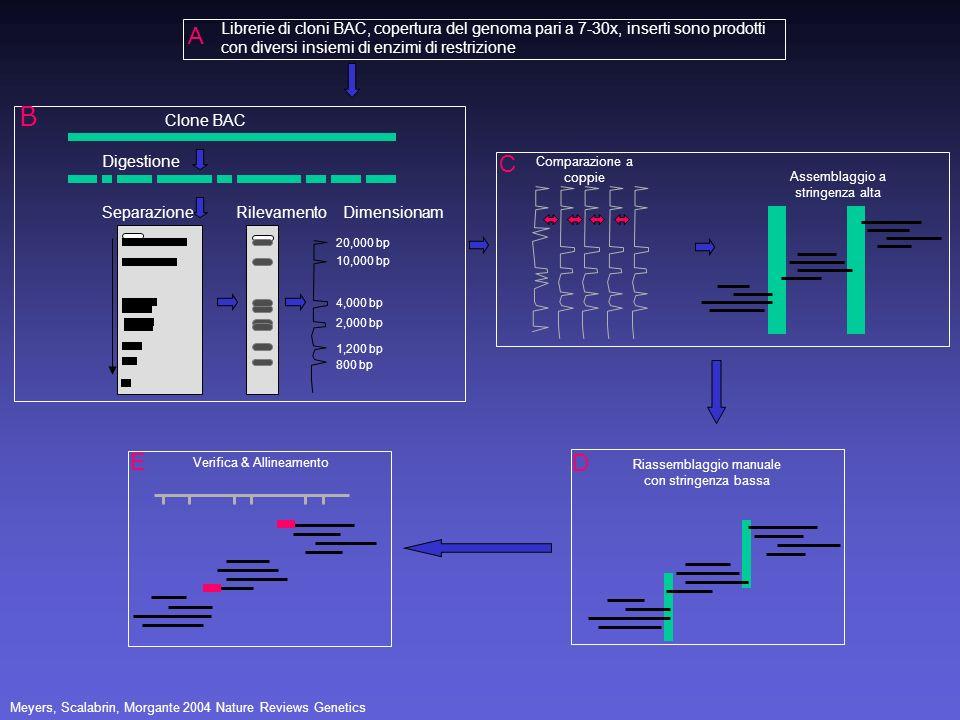 Librerie di cloni BAC, copertura del genoma pari a 7-30x, inserti sono prodotti con diversi insiemi di enzimi di restrizione A Clone BAC Digestione Se
