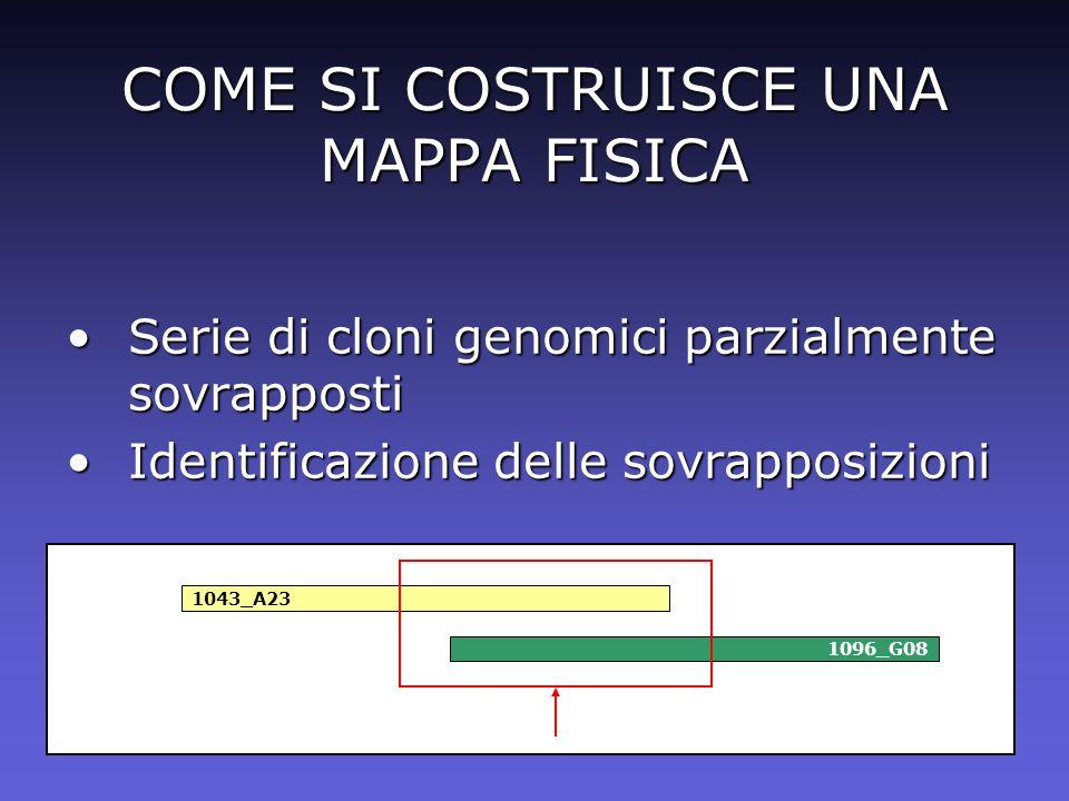 COME SI COSTRUISCE UNA MAPPA FISICA Serie di cloni genomici parzialmente sovrappostiSerie di cloni genomici parzialmente sovrapposti Identificazione d
