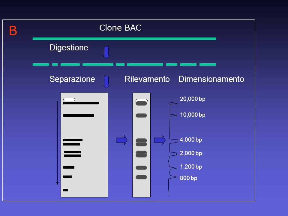 Digestione SeparazioneRilevamento Dimensionamento 20,000 bp 10,000 bp 4,000 bp 2,000 bp 1,200 bp 800 bp B Clone BAC