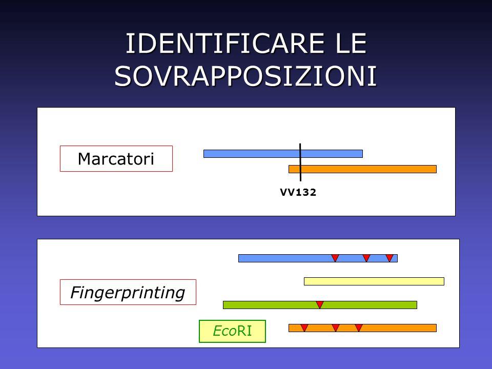 IDENTIFICARE LE SOVRAPPOSIZIONI Marcatori VV132 Fingerprinting EcoRI