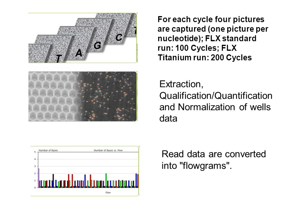 For each cycle four pictures are captured (one picture per nucleotide); FLX standard run: 100 Cycles; FLX Titanium run: 200 Cycles Extraction, Qualifi