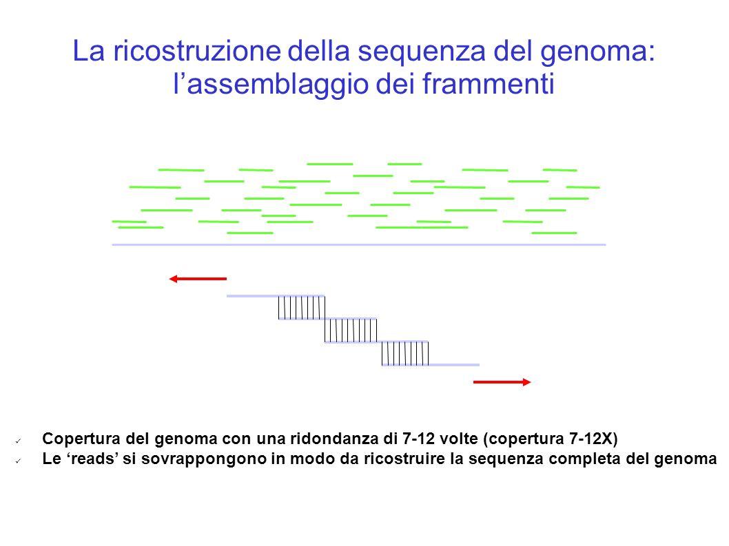 La ricostruzione della sequenza del genoma: lassemblaggio dei frammenti Copertura del genoma con una ridondanza di 7-12 volte (copertura 7-12X) Le reads si sovrappongono in modo da ricostruire la sequenza completa del genoma