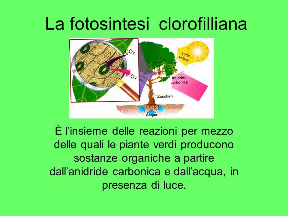 La fotosintesi clorofilliana È linsieme delle reazioni per mezzo delle quali le piante verdi producono sostanze organiche a partire dallanidride carbo
