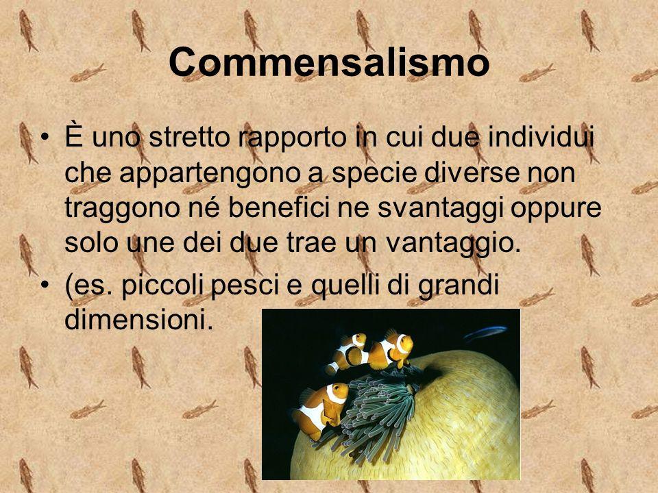 Commensalismo È uno stretto rapporto in cui due individui che appartengono a specie diverse non traggono né benefici ne svantaggi oppure solo une dei