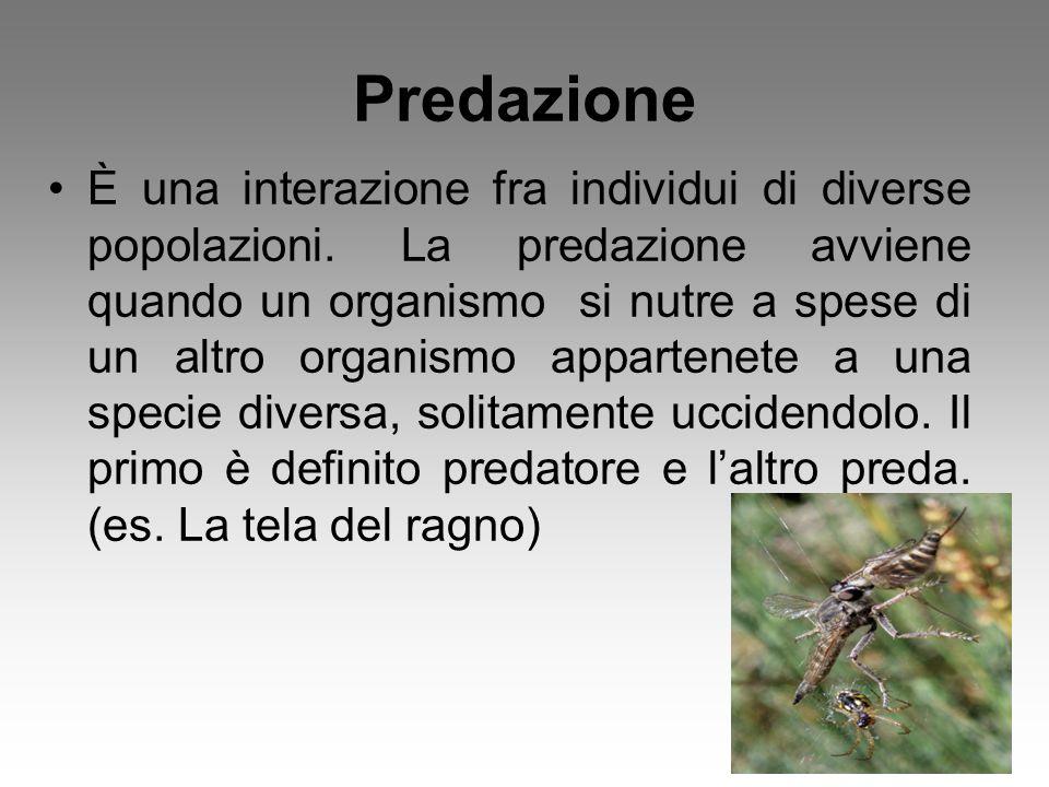 Predazione È una interazione fra individui di diverse popolazioni. La predazione avviene quando un organismo si nutre a spese di un altro organismo ap