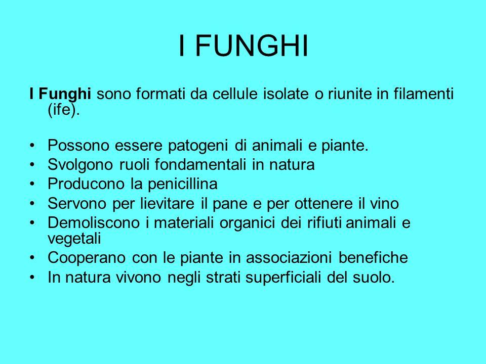 I FUNGHI I Funghi sono formati da cellule isolate o riunite in filamenti (ife). Possono essere patogeni di animali e piante. Svolgono ruoli fondamenta