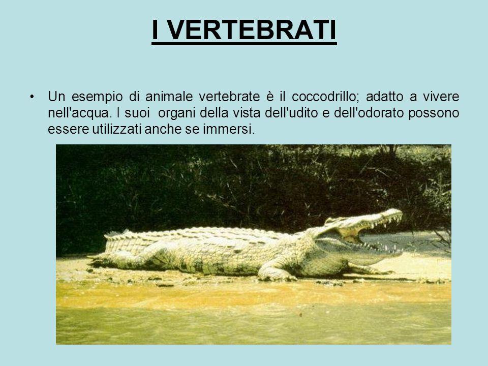I VERTEBRATI Un esempio di animale vertebrate è il coccodrillo; adatto a vivere nell'acqua. I suoi organi della vista dell'udito e dell'odorato posson