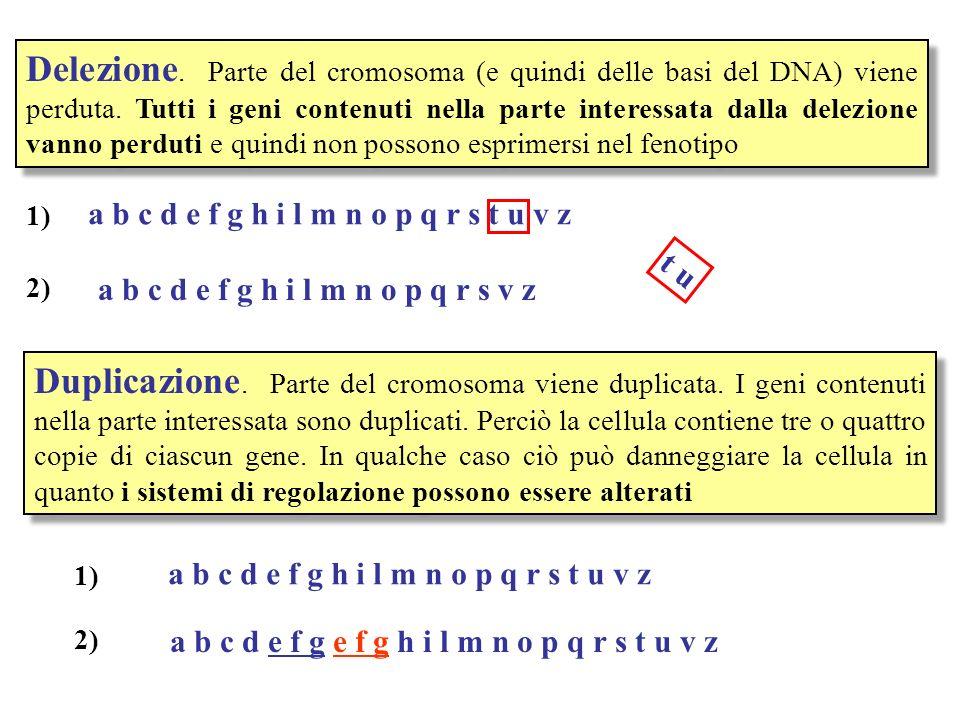 Delezione. Parte del cromosoma (e quindi delle basi del DNA) viene perduta. Tutti i geni contenuti nella parte interessata dalla delezione vanno perdu