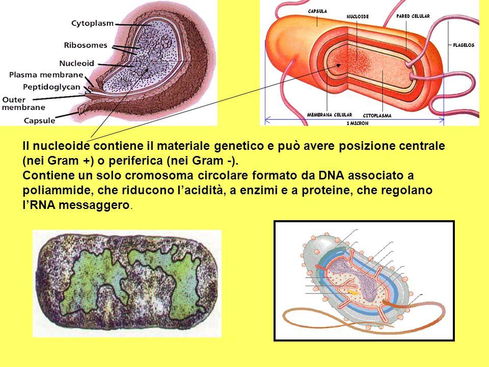 Il nucleoide contiene il materiale genetico e può avere posizione centrale (nei Gram +) o periferica (nei Gram -). Contiene un solo cromosoma circolar