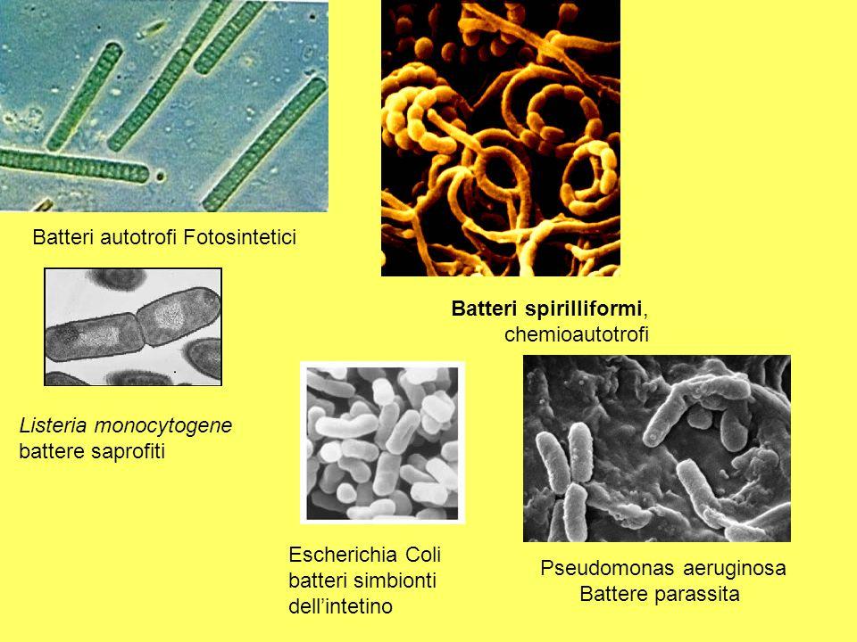 Batteri autotrofi Fotosintetici Batteri spirilliformi, chemioautotrofi Listeria monocytogene battere saprofiti Escherichia Coli batteri simbionti dell