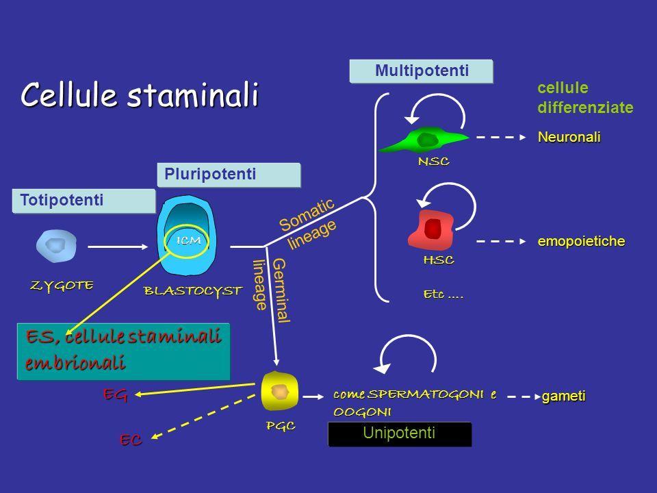 Cellule staminali Totipotenti ZYGOTE Pluripotenti BLASTOCYST Multipotenti HSC NSC PGC ES, cellule staminali embrionali come SPERMATOGONI e OOGONI Soma