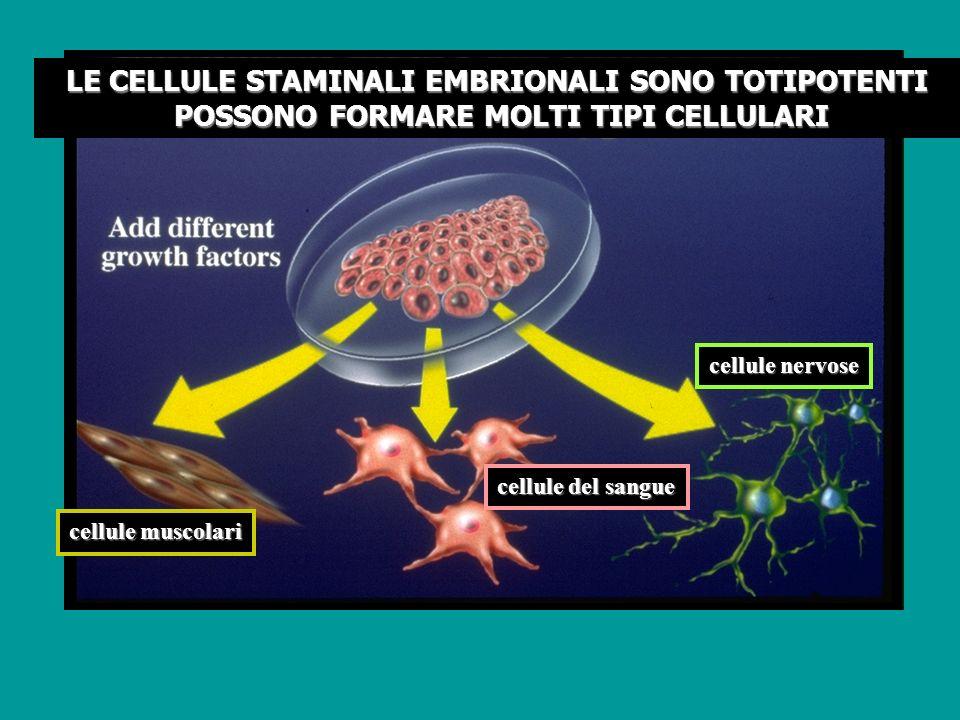 cellule nervose cellule del sangue cellule muscolari LE CELLULE STAMINALI EMBRIONALI SONO TOTIPOTENTI POSSONO FORMARE MOLTI TIPI CELLULARI POSSONO FOR
