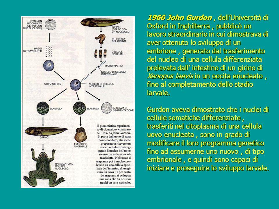 1966 John Gurdon, dellUniversità di Oxford in Inghilterra, pubblicò un lavoro straordinario in cui dimostrava di aver ottenuto lo sviluppo di un embri