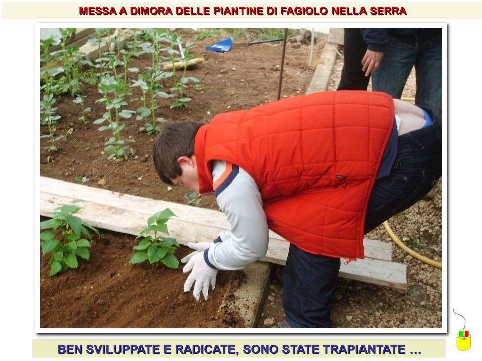 MESSA A DIMORA DELLE PIANTINE DI FAGIOLO NELLA SERRA BEN SVILUPPATE E RADICATE, SONO STATE TRAPIANTATE …