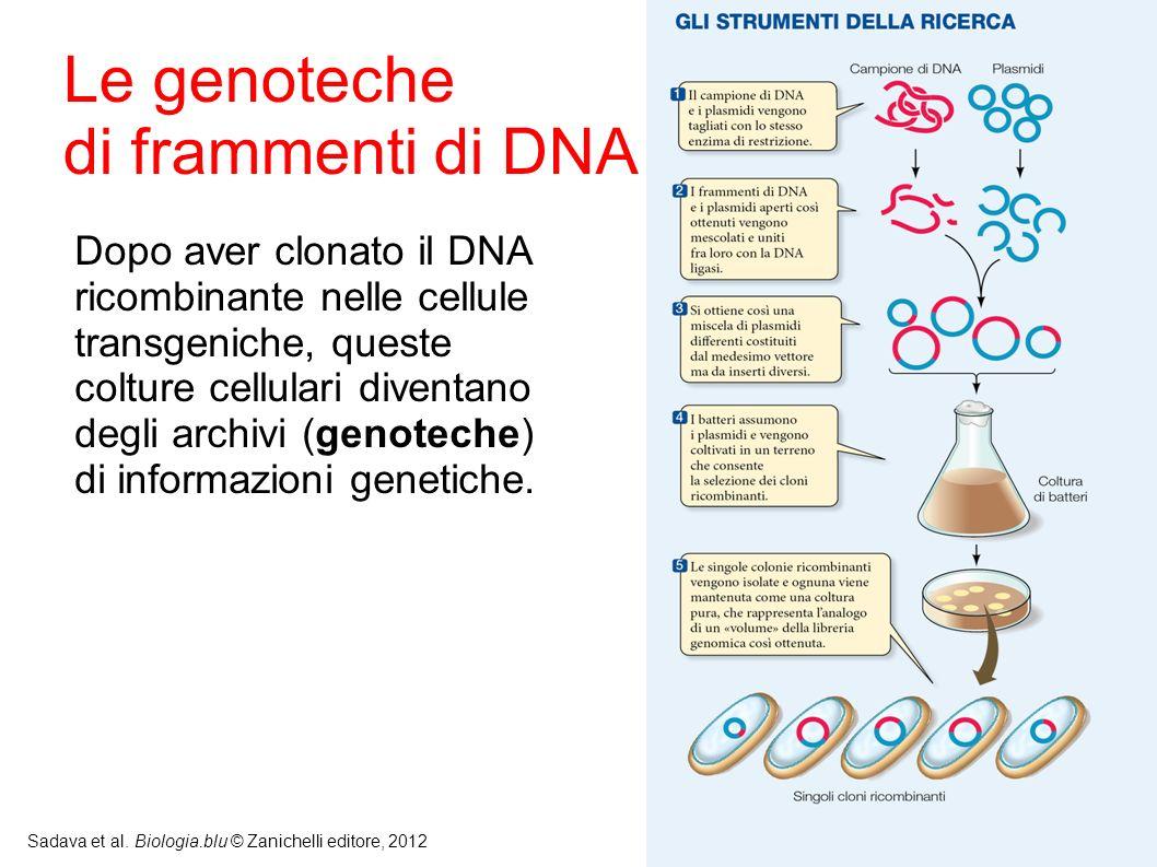 12 Sadava et al. Biologia.blu © Zanichelli editore, 2012 Dopo aver clonato il DNA ricombinante nelle cellule transgeniche, queste colture cellulari di