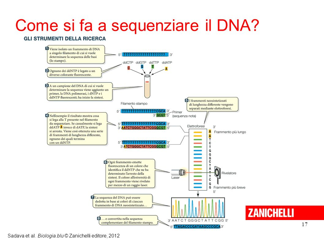 17 Sadava et al. Biologia.blu © Zanichelli editore, 2012 Come si fa a sequenziare il DNA?