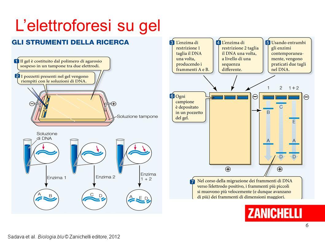 6 Sadava et al. Biologia.blu © Zanichelli editore, 2012 Lelettroforesi su gel