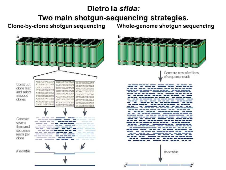 Clone-by-clone shotgun sequencing Dietro la sfida: Two main shotgun-sequencing strategies. Whole-genome shotgun sequencing