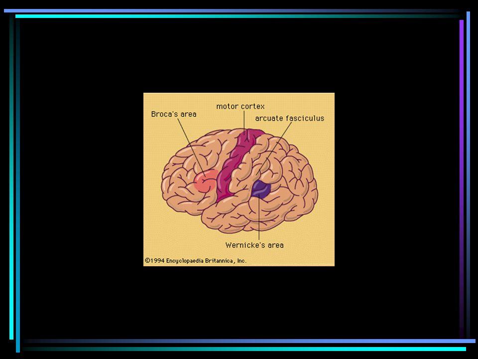 NEUROPSICOLOGIANEUROPSICOLOGIA Studia i correlati neurologici dellattività mentale