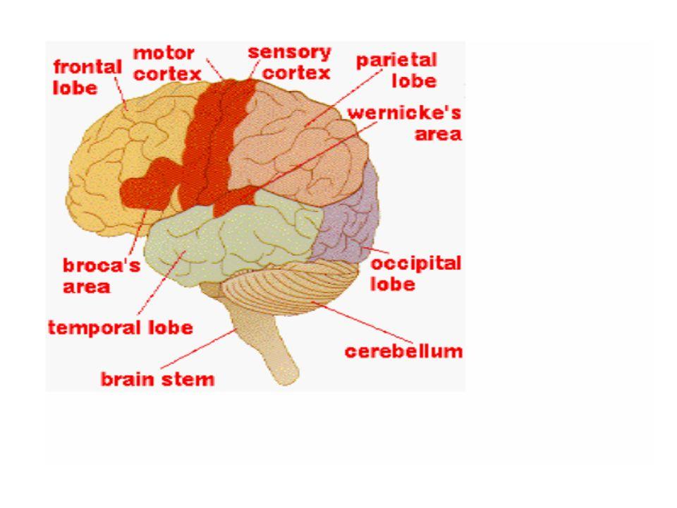 Modularità della mente Secondo Fodor (1983), i moduli della mente/cervello sono: 1.