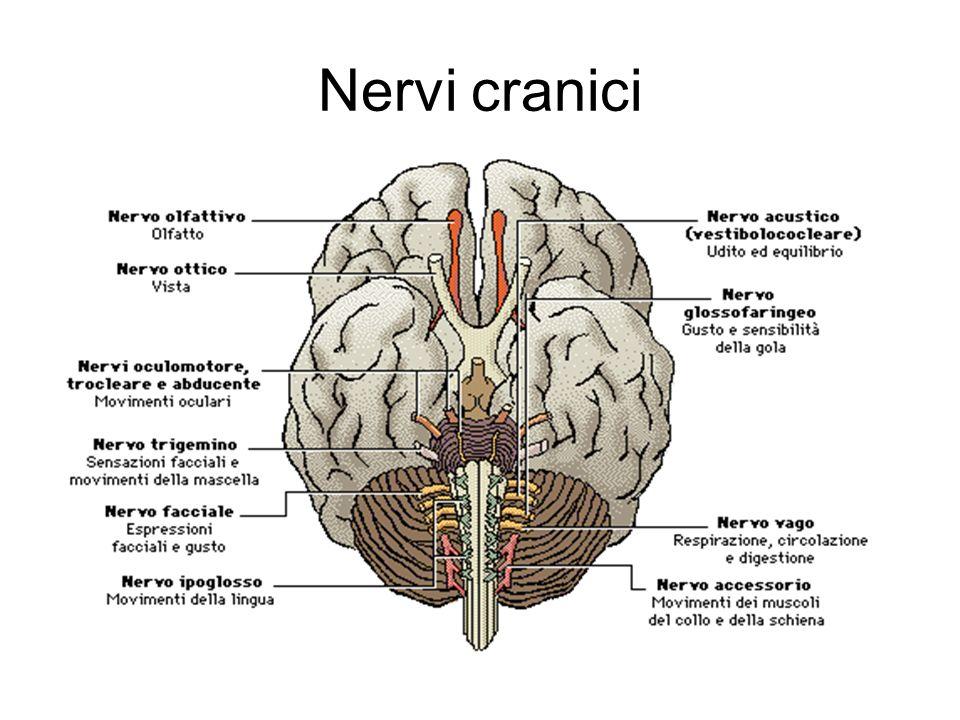 Gli emisferi cerebrali Gli emisferi cerebrali destro e sinistro sono le strutture nervose più recenti (neocortex) dal punto vista filogenetico, sono quasi identiche e poste in maniera speculare luna rispetto allaltra; parlano tra di loro tramite un enorme fascio di fibre che li collega, chiamato corpo calloso; molte informazioni sul loro funzionamento provengono dallo studio di pazienti che hanno subito la resezione chirurgica di queste fibre e che conseguentemente incarnano un specie di cervello diviso .