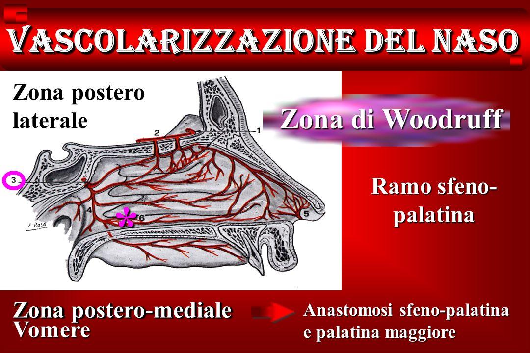Ramo sfeno- palatina Zona postero-mediale Vomere Anastomosi sfeno-palatina e palatina maggiore Vascolarizzazione del naso Zona postero laterale Zona d