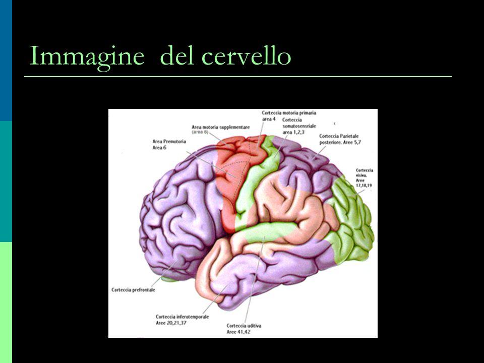 Sezione del cervello