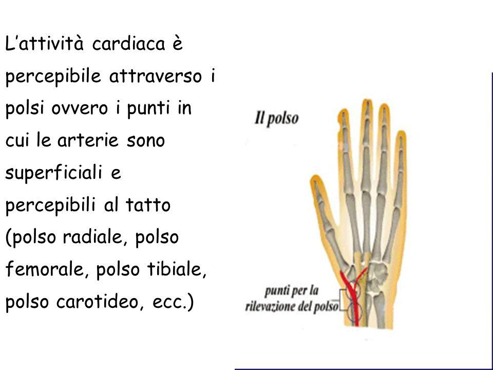 Lattività cardiaca è percepibile attraverso i polsi ovvero i punti in cui le arterie sono superficiali e percepibili al tatto (polso radiale, polso fe