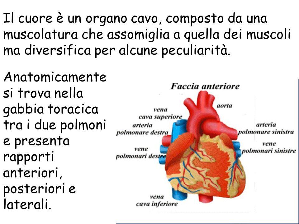 Il cuore è un organo cavo, composto da una muscolatura che assomiglia a quella dei muscoli ma diversifica per alcune peculiarità. Anatomicamente si tr
