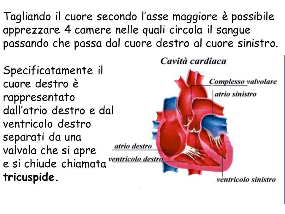 Tagliando il cuore secondo lasse maggiore è possibile apprezzare 4 camere nelle quali circola il sangue passando che passa dal cuore destro al cuore s