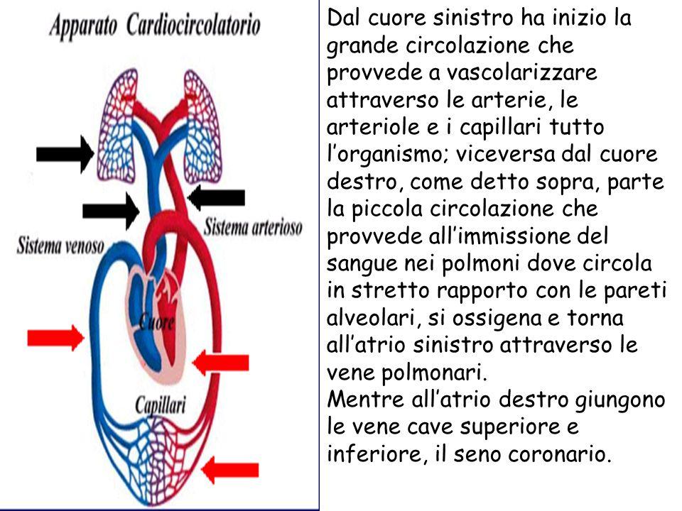 Dal cuore sinistro ha inizio la grande circolazione che provvede a vascolarizzare attraverso le arterie, le arteriole e i capillari tutto lorganismo;