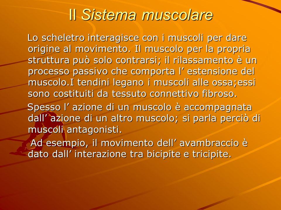 Il Sistema muscolare Lo scheletro interagisce con i muscoli per dare origine al movimento. Il muscolo per la propria struttura può solo contrarsi; il