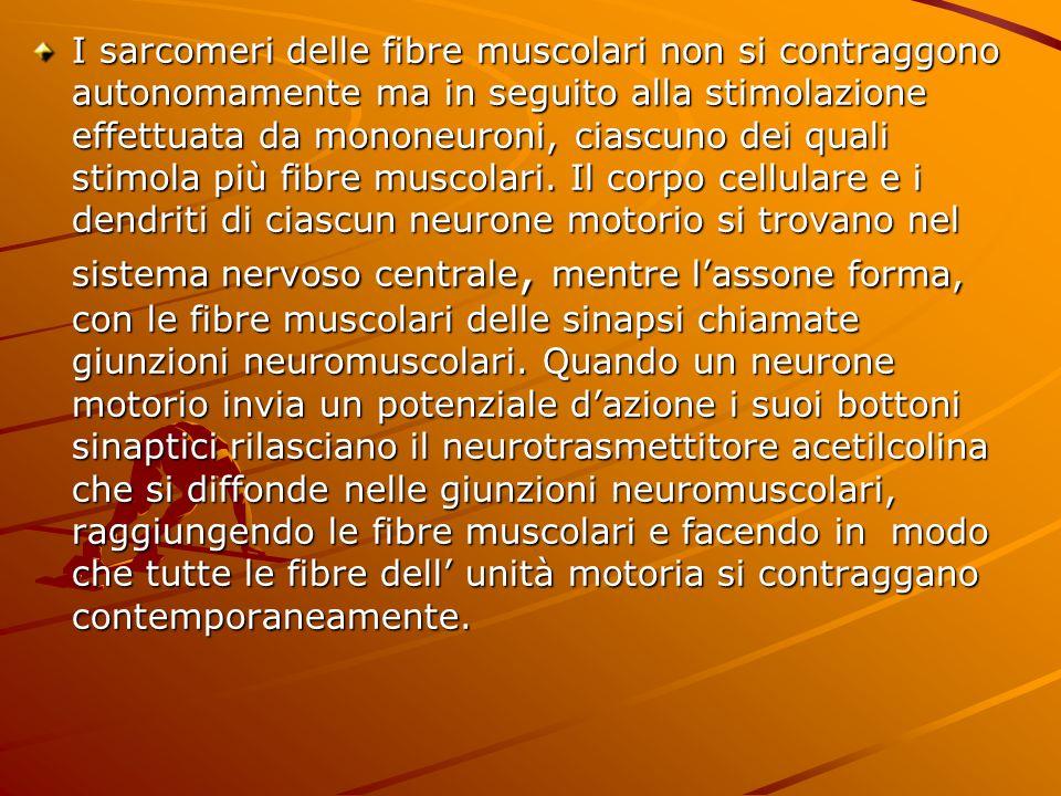 I sarcomeri delle fibre muscolari non si contraggono autonomamente ma in seguito alla stimolazione effettuata da mononeuroni, ciascuno dei quali stimo