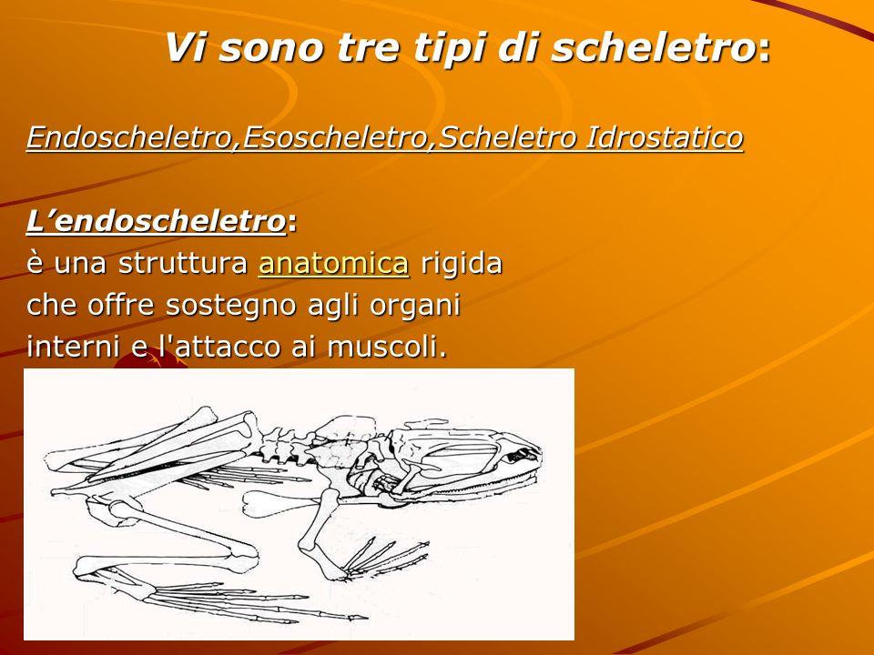 Vi sono tre tipi di scheletro: Vi sono tre tipi di scheletro: Endoscheletro,Esoscheletro,Scheletro Idrostatico Lendoscheletro: è una struttura anatomi