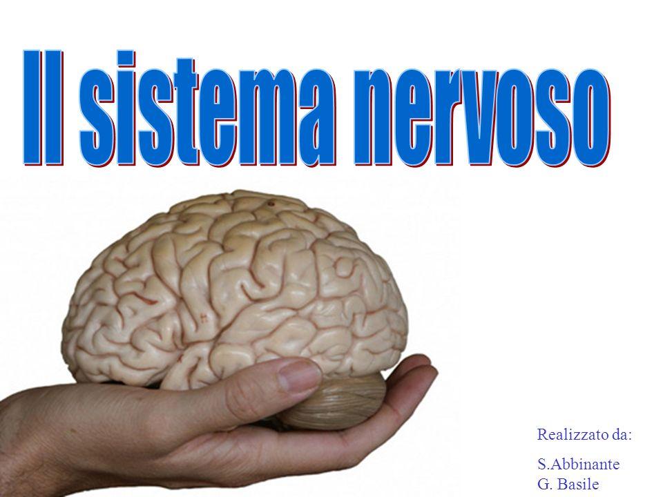 Struttura del sistema nervoso Il sistema nervoso è costituito da neuroni, cioè cellule nervose specializzate,che trasferiscono segnali nelle varie parti del corpo.