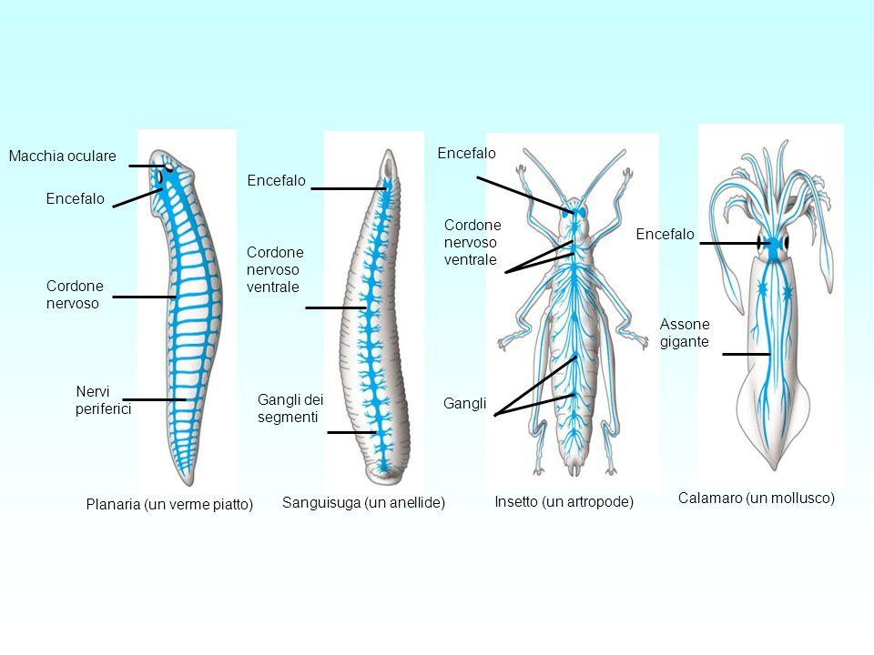 Macchia oculare Encefalo Cordone nervoso Nervi periferici Encefalo Cordone nervoso ventrale Gangli dei segmenti Sanguisuga (un anellide) Cordone nervo