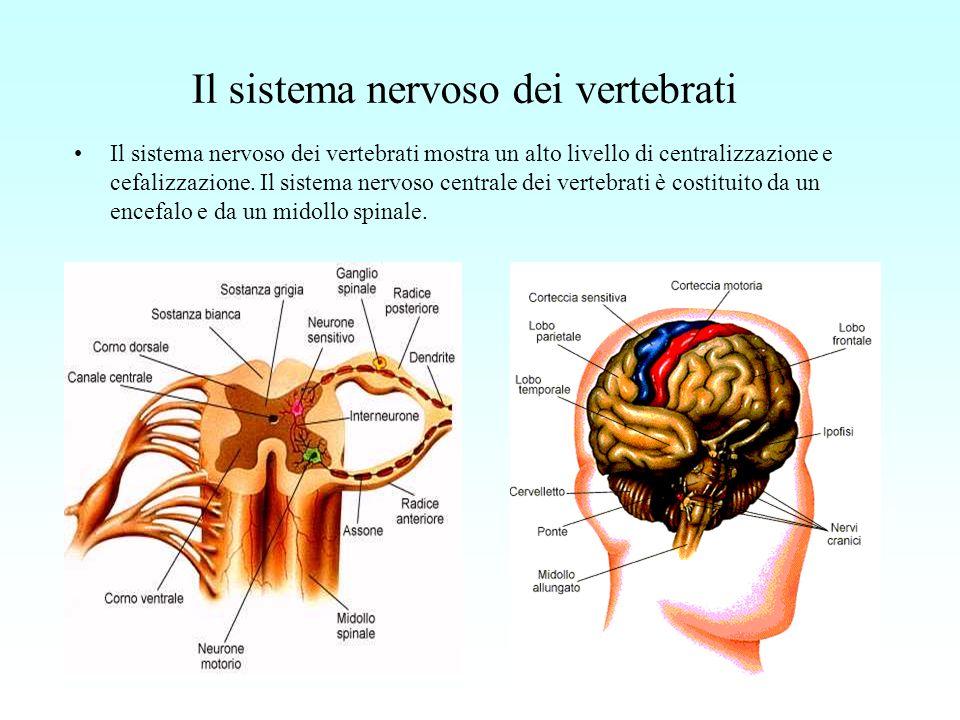 Il sistema nervoso dei vertebrati Il sistema nervoso dei vertebrati mostra un alto livello di centralizzazione e cefalizzazione. Il sistema nervoso ce