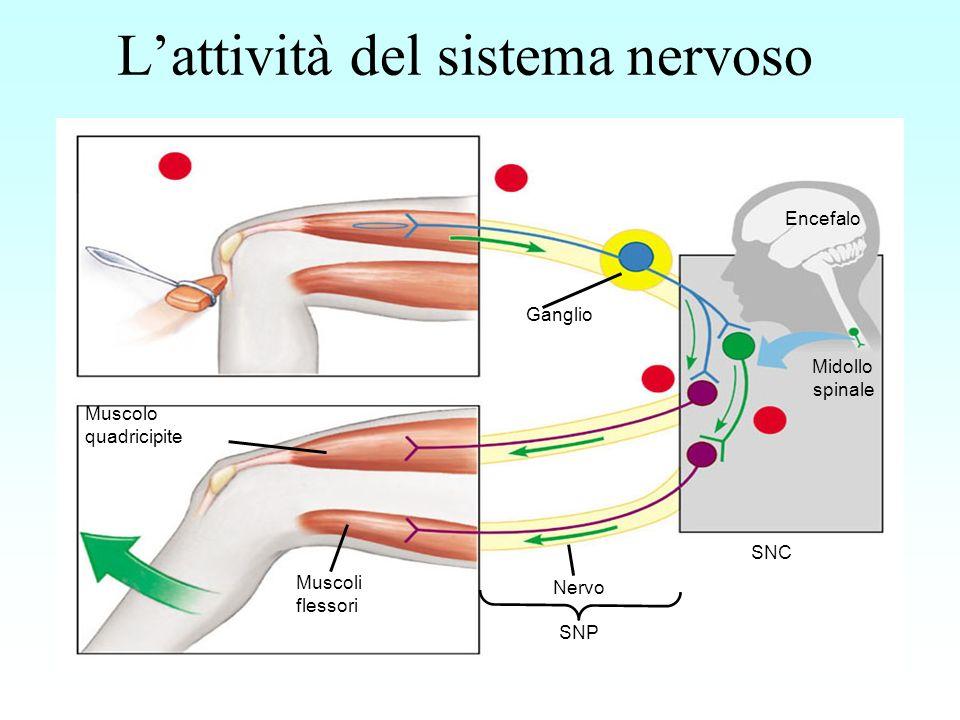 Il sistema nervoso ha tre funzioni fondamentali: Lacquisizione sensoriale: è la trasmissione di impulsi dai recettori sensoriali ai centri di elaborazione cioè lencefalo e il midollo spinale Lintegrazione: è linterpretazione degli impulsi sensoriali la formulazione di risposte nei centri di elaborazione Lo stimolo motorio: è la conduzione degli impulsi da un centro di elaborazione alle cellule effettrici che provvedono alle risposte del corpo.