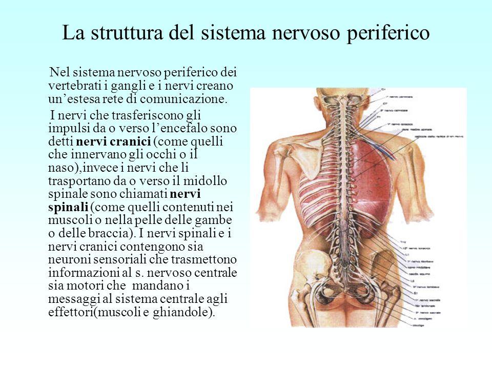La struttura del sistema nervoso periferico Nel sistema nervoso periferico dei vertebrati i gangli e i nervi creano unestesa rete di comunicazione. I